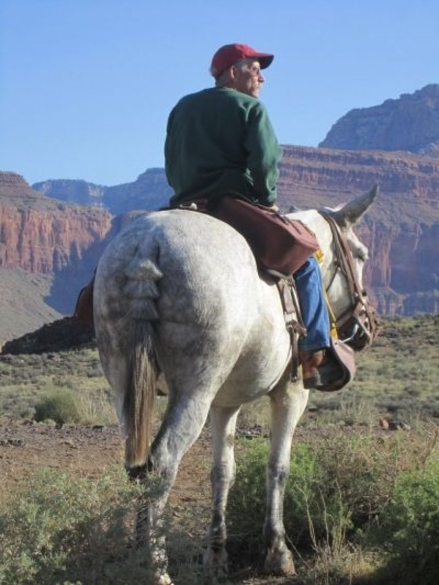 A man on a mule in Grand Canyon