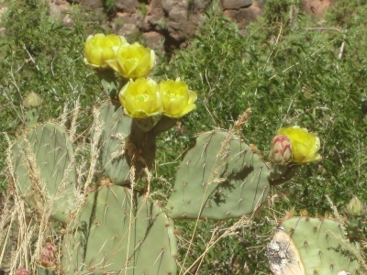 Cactus flowers come in all colors of the rainbow in Grand Canyon