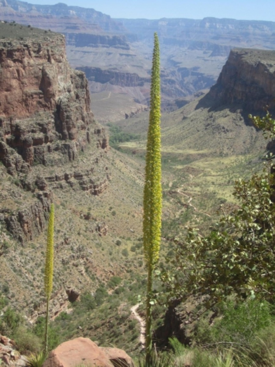 Century plants with the Bright Angel Trail and Indian Gardens in the background