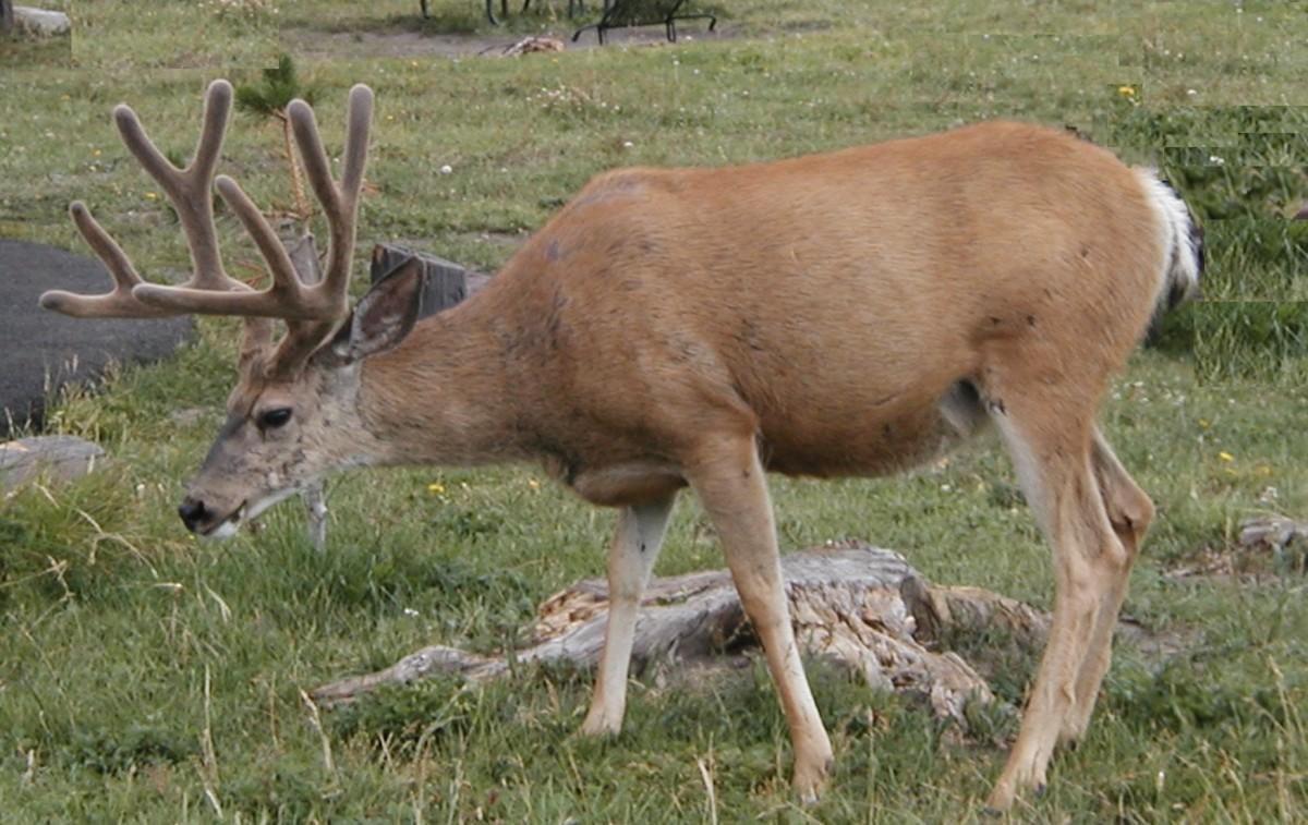 Even an innocent looking deer can be dangerous in certain instances.