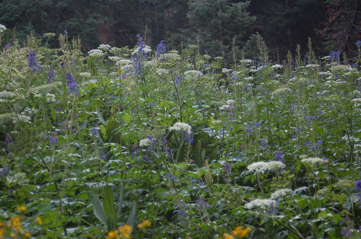 Wildflowers Along Pine River Trail, Weminuche Wilderness