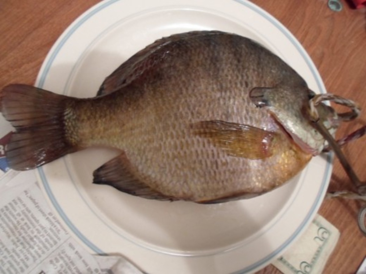 A dinner plate sized bluegill caught on the McClusky Canal north of Highway 200.