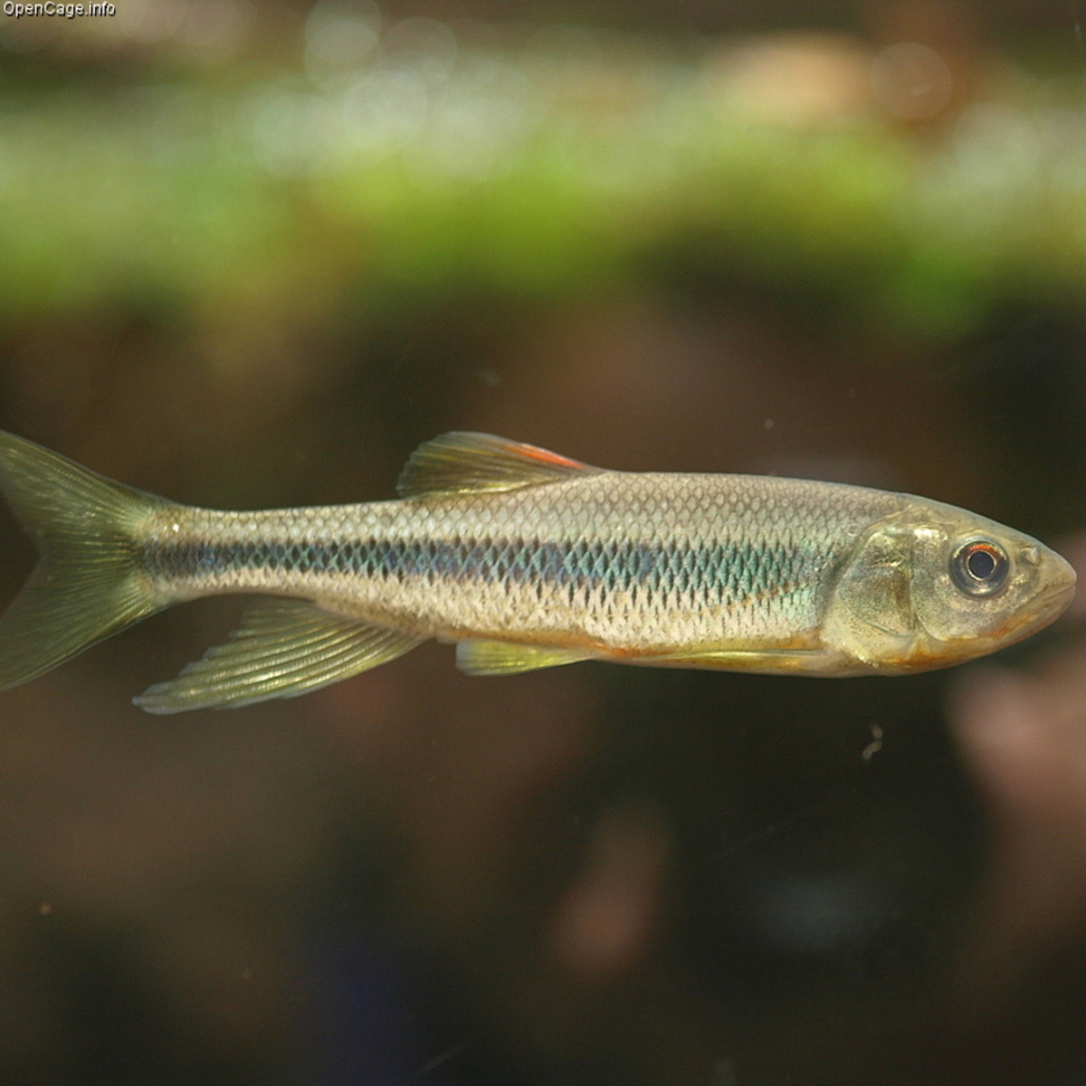 Minnows live in shallow waters by the shore