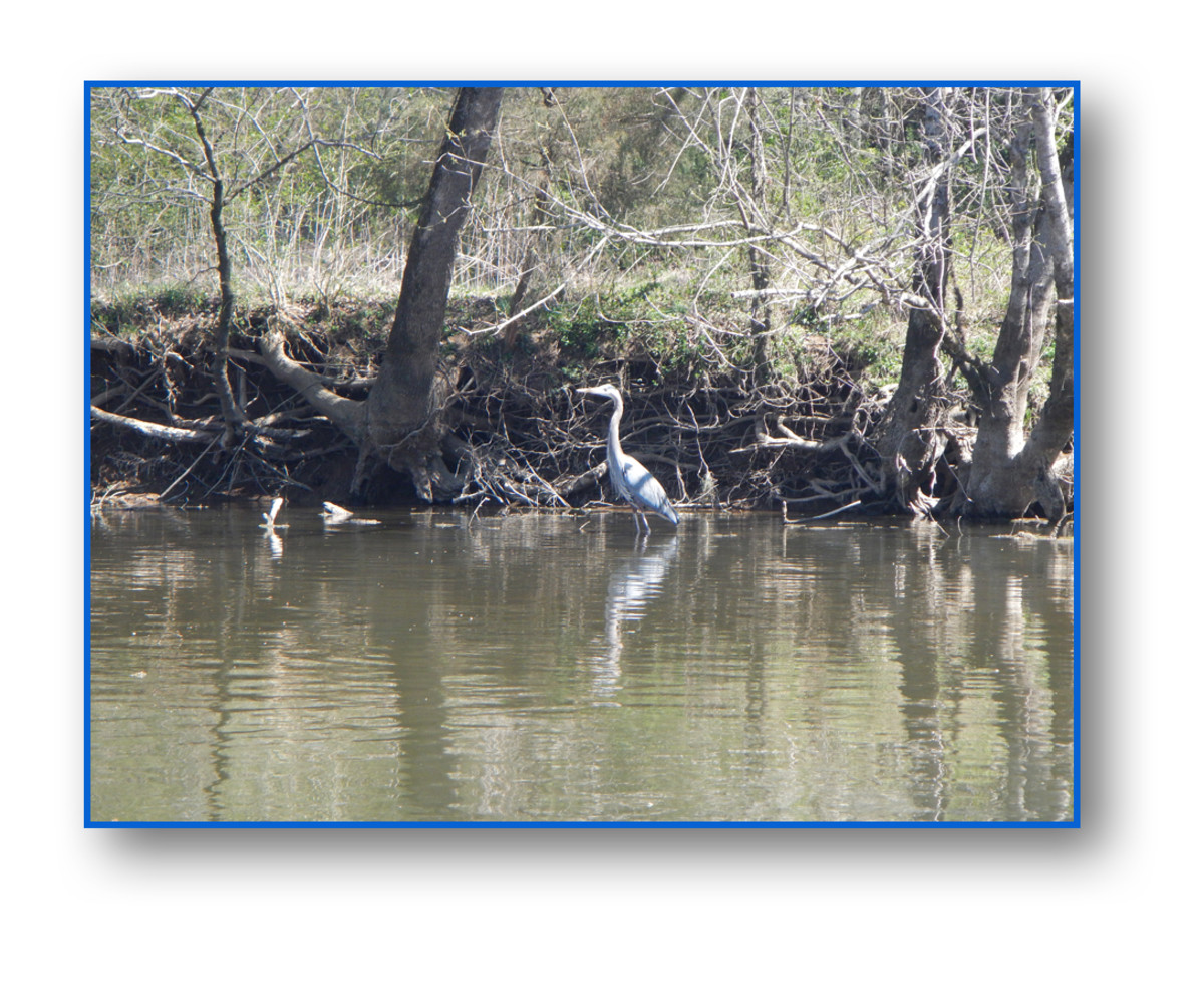 This Great Blue Heron was the first fisherman that showed up and kindly consented to having his picture taken.