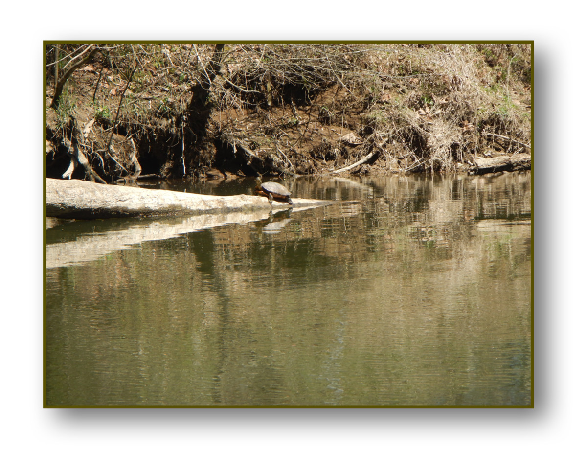 There are many turtles that live in the Duck River but getting a good photo can be tricky as they are very shy.