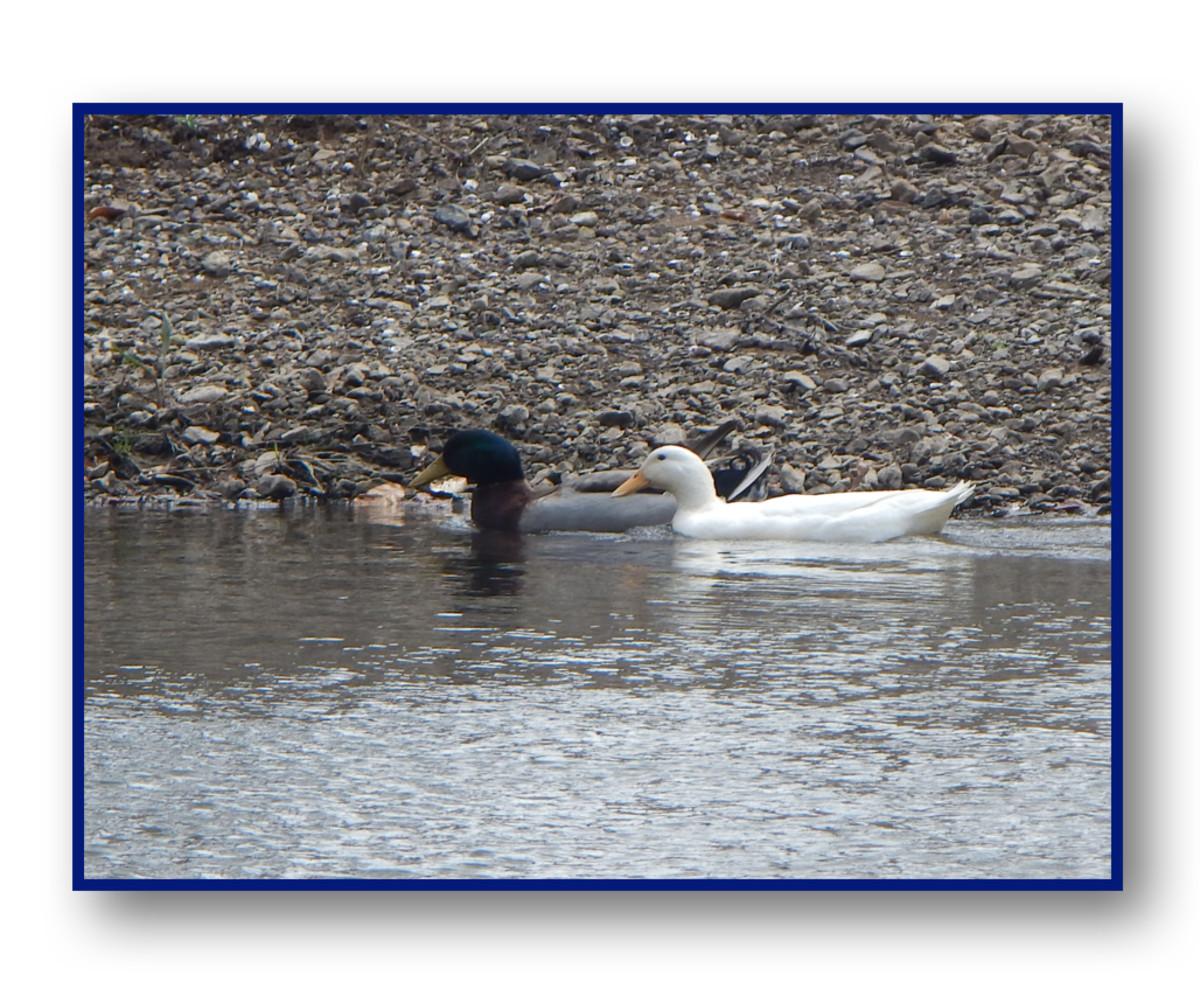 Mallard ducks floating the Duck River.