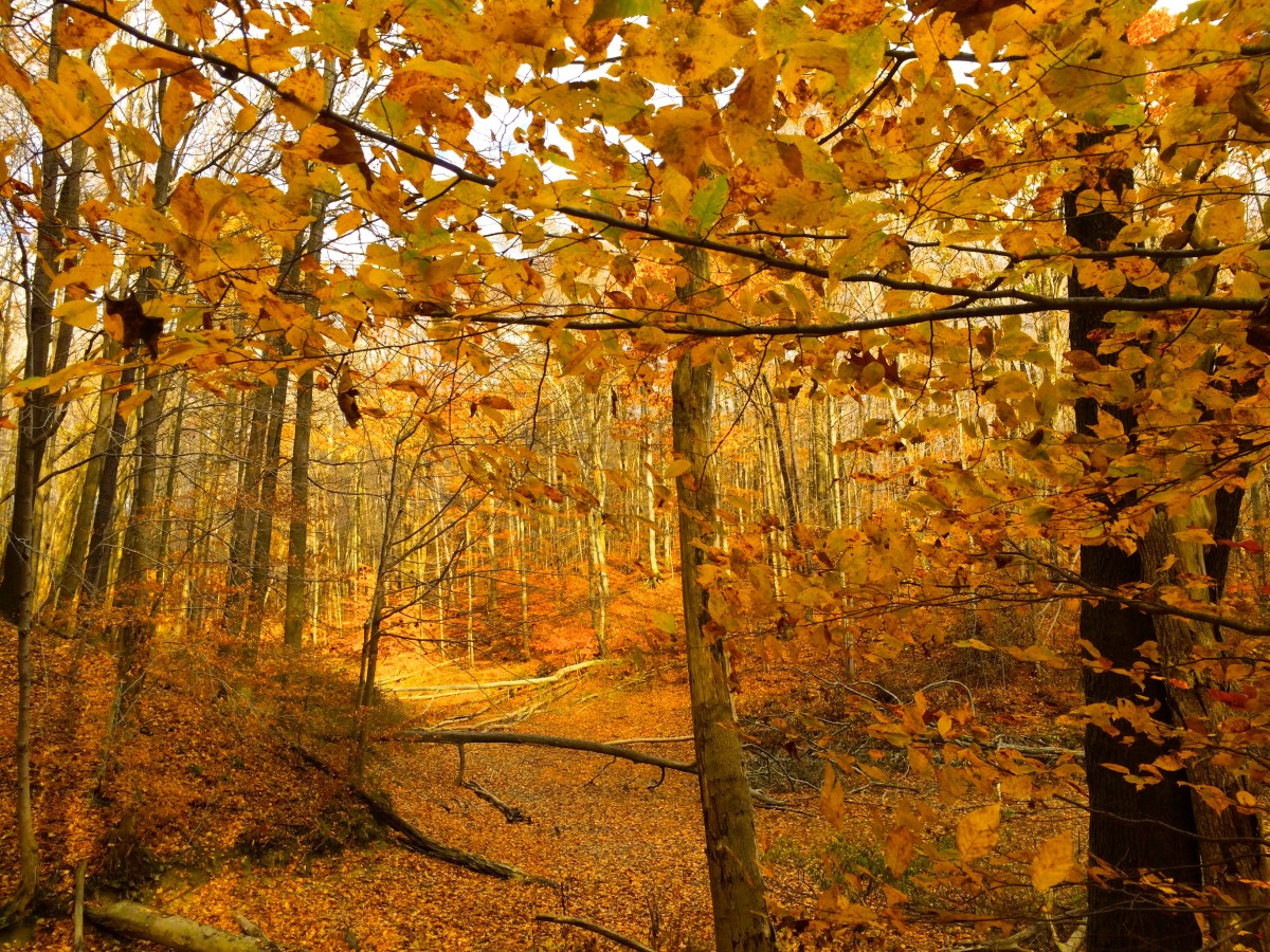 An autumn orange forest in West Branch State Park.