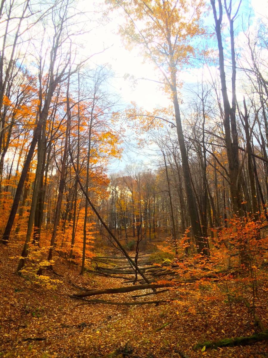 Wild Black Cherry Trail, West Branch State Park