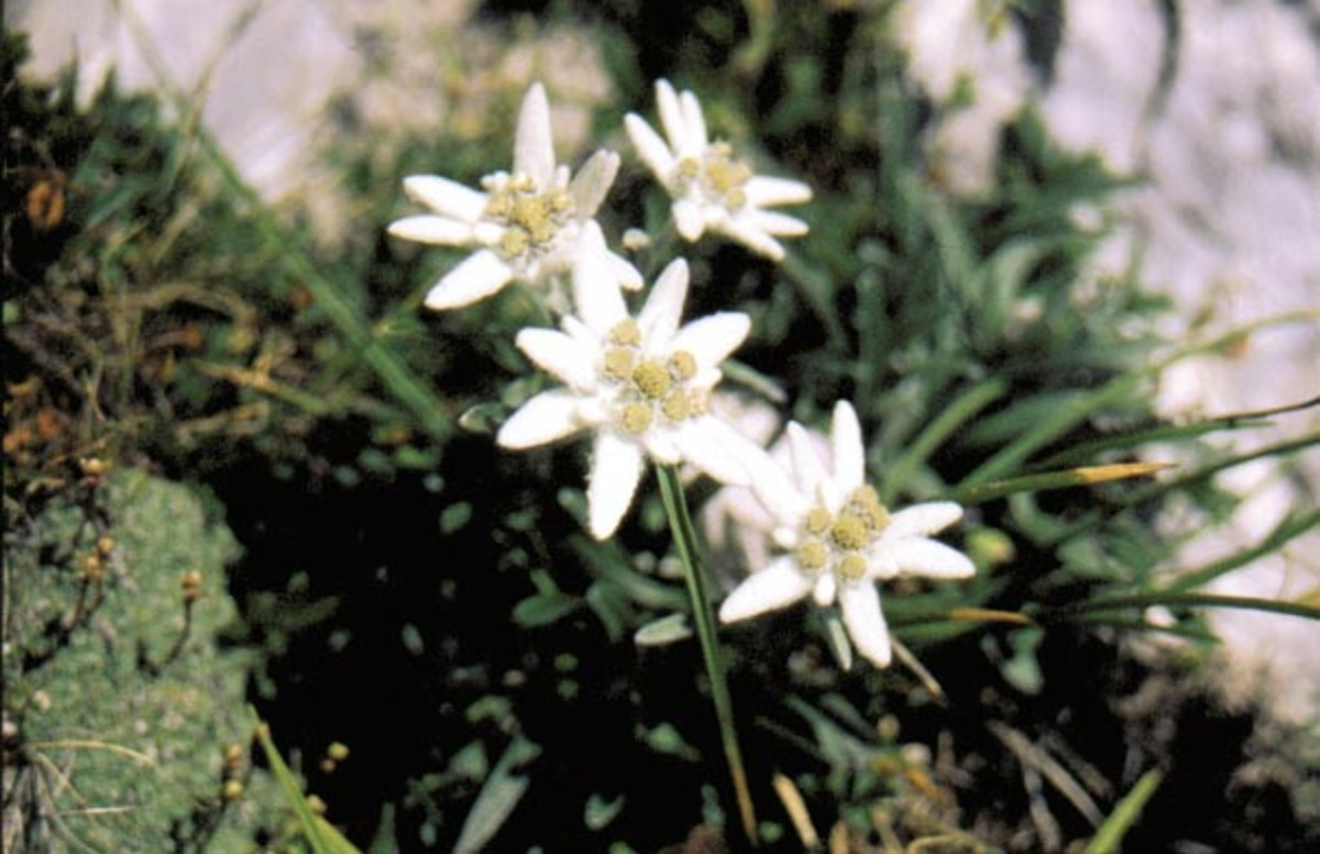 Stelle Alpine (edelweiss) on the Stolvizza trails