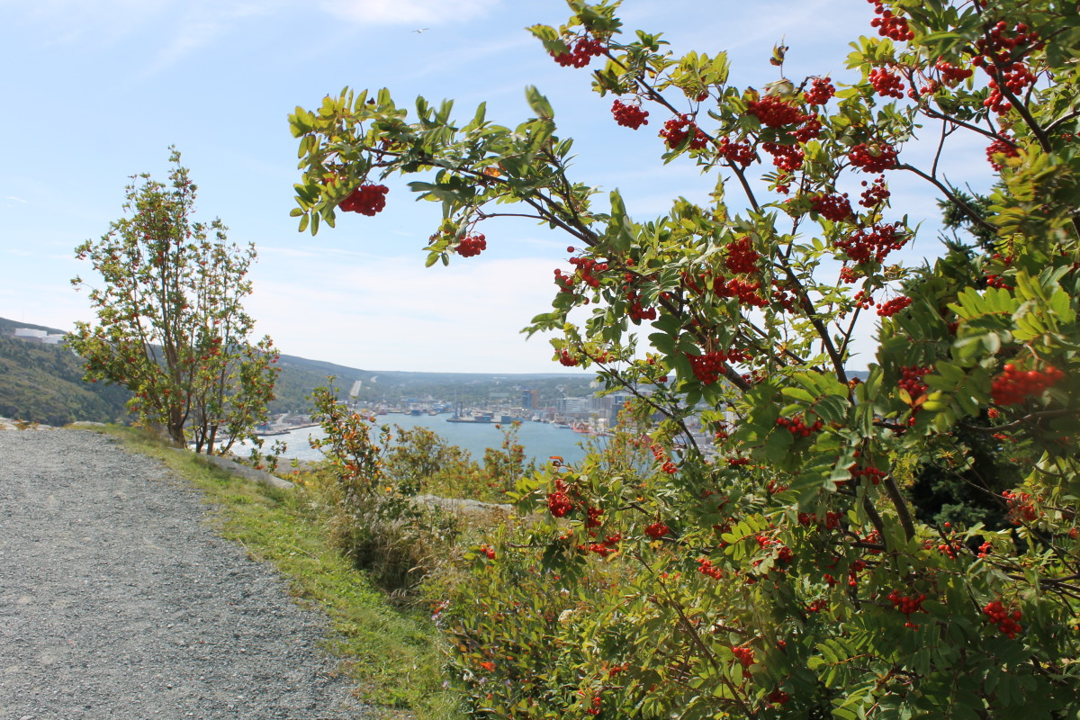 Looking From the Trail on the Battery to Signal Hill Walk Out Across St. John's Harbour