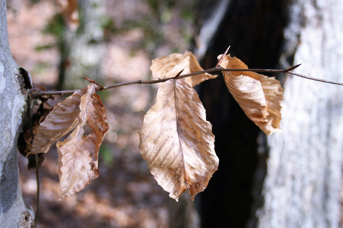 Beech tree leaves.