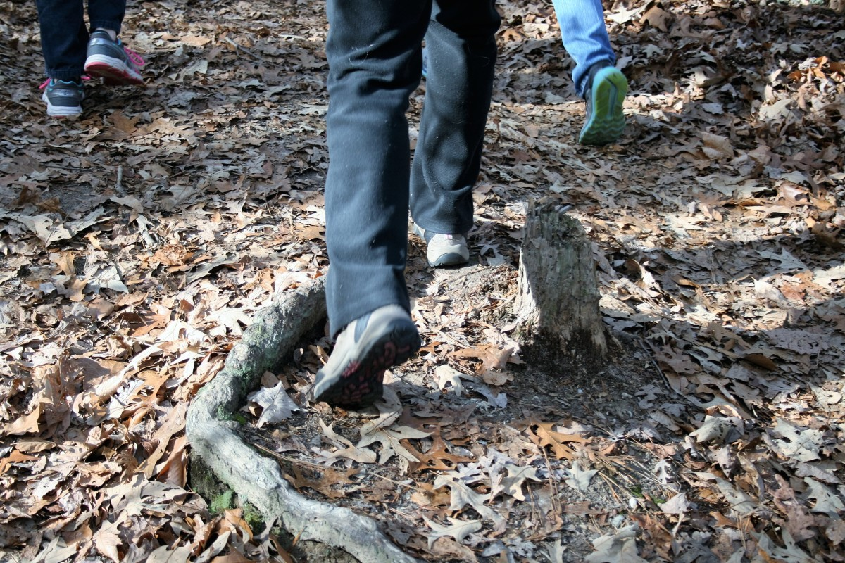 Hikers step over tree roots on the trail.