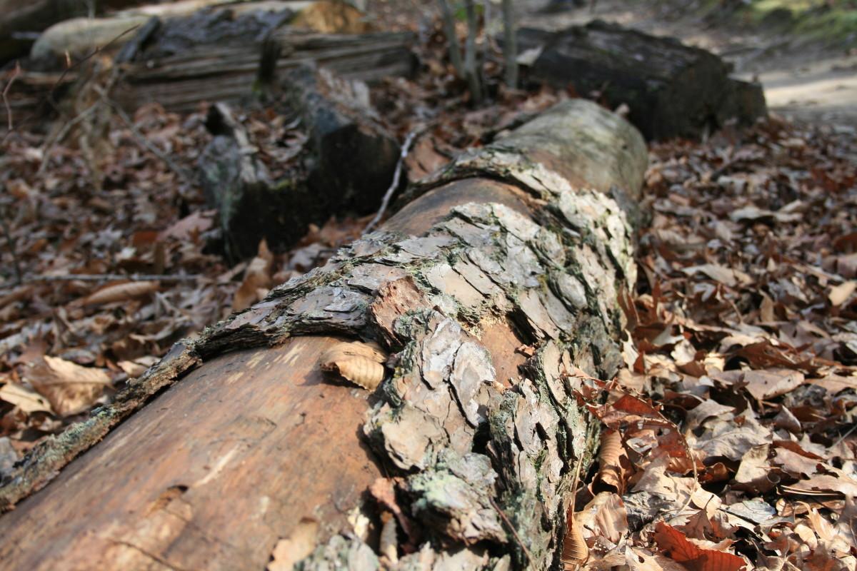 A fallen pine tree.