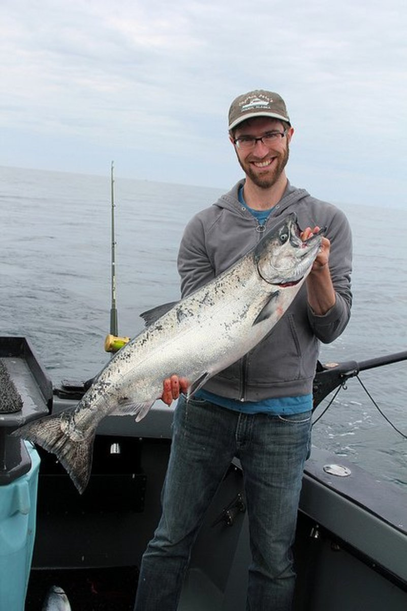 A beautiful King Salmon (also known as Chinook) caught while trolling.