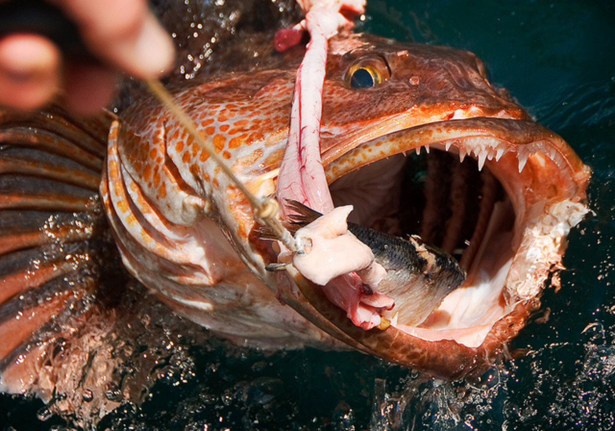 A toothy deep-water Lingcod