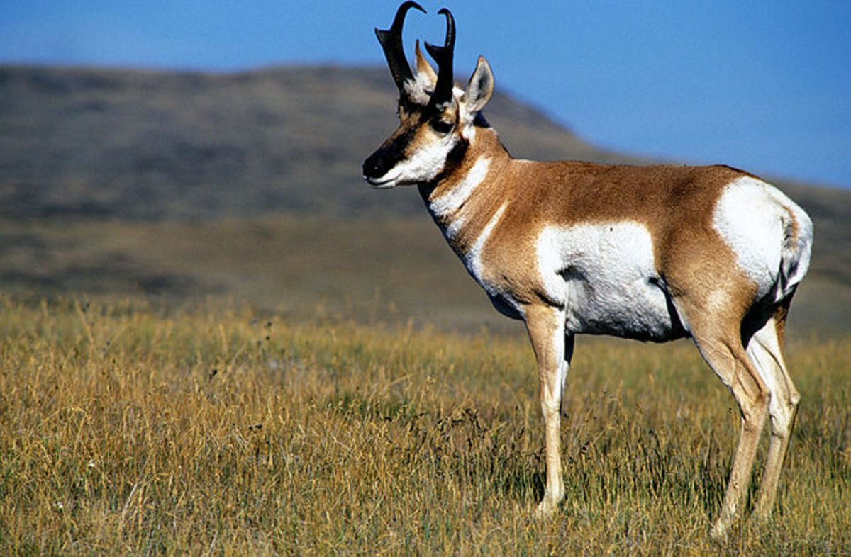 The 6 CM should make a good pronghorn cartridge out to 300 yards.