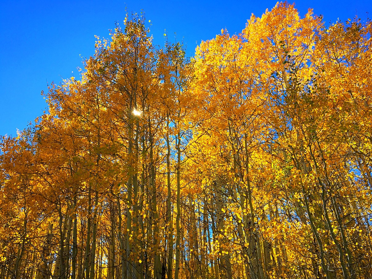 Golden leaves shimmering under the blue sky