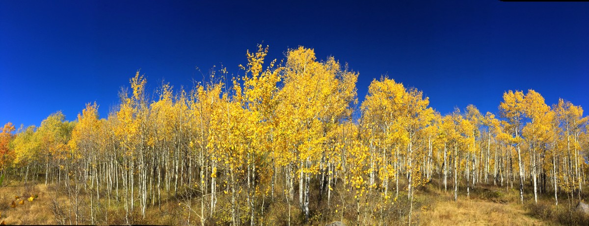 Golden aspens glowing under the bright blue sky off Guardsman Pass