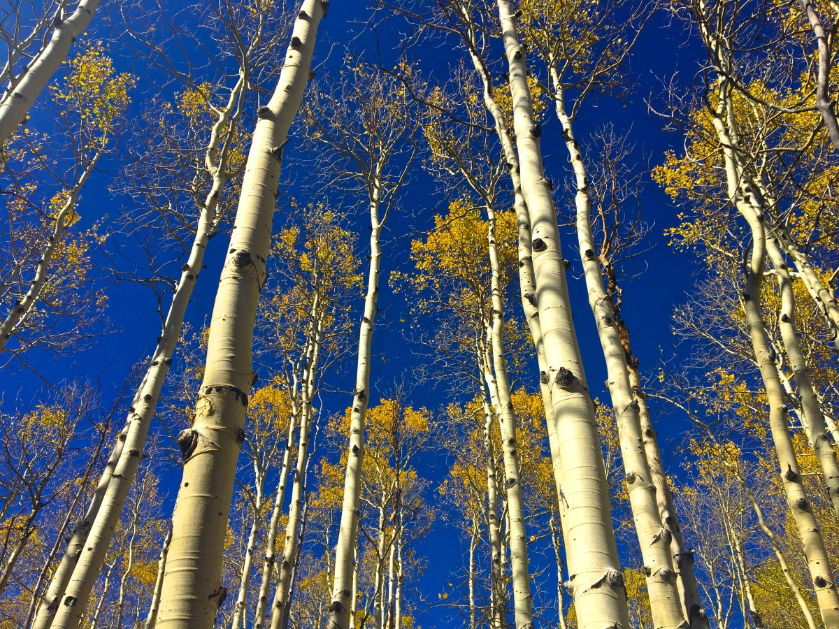 A network of aspen trees towering into the blue sky