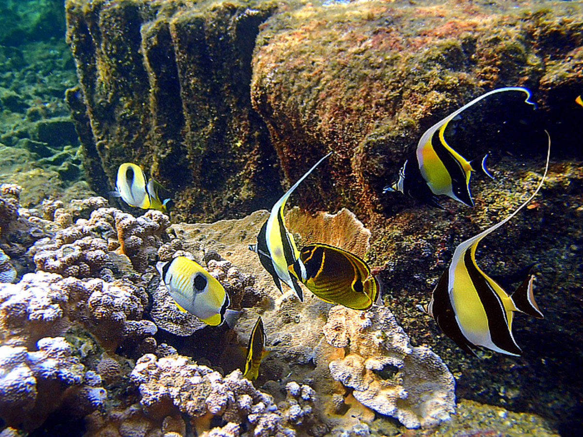 A trio of Moorish Idols joins other reef fishes searching for a good algae grazing spot.