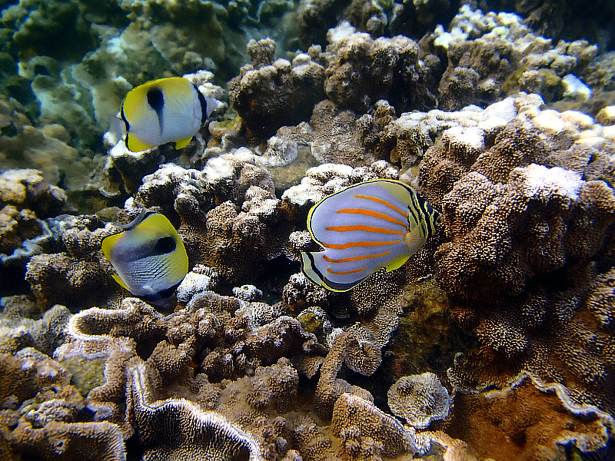 Ornate Butterflyfish (with bright orange diagonal lines) and Teardrop Butterflyfish (named for the upside-down teardrop marking on body) feeding on algae.