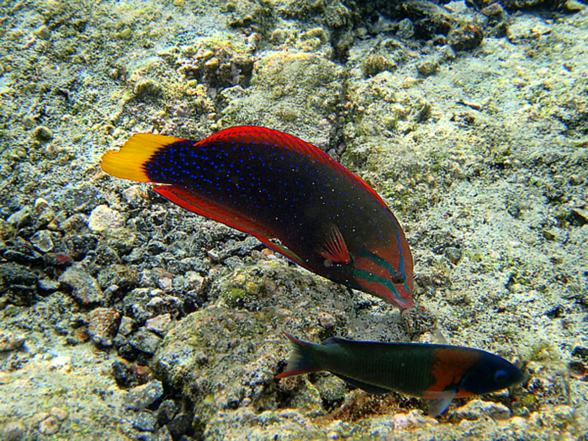One of the most beautiful reef fishes, Yellowtail Coris Wrasse is like a swimming rainbow!  The smaller fish underneath is a Saddle Wrasse which is endemic to Hawaii.