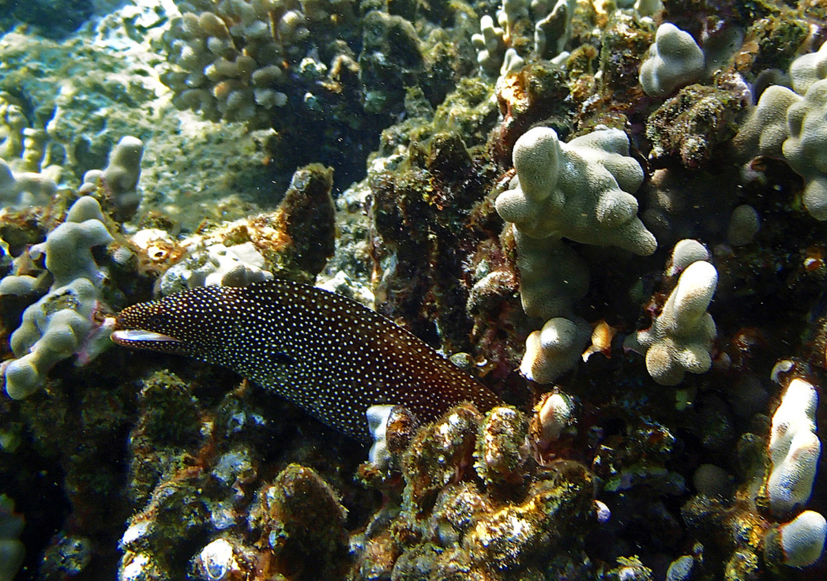 Whitemouth Moray Eel often pokes its head out of the coral and peers curiously at snorkelers!