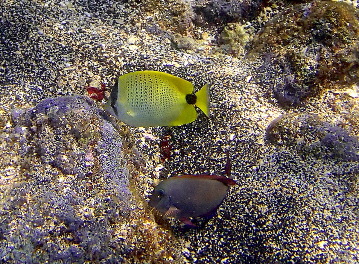 Milletseed Butterflyfish is endemic to Hawaii, seen here with a common Brown Surgeonfish.