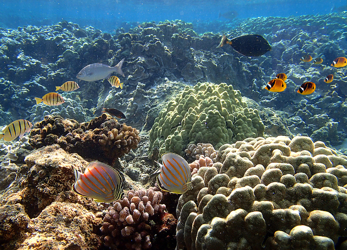 Rich biodiversity found in Hawaiian reefs.