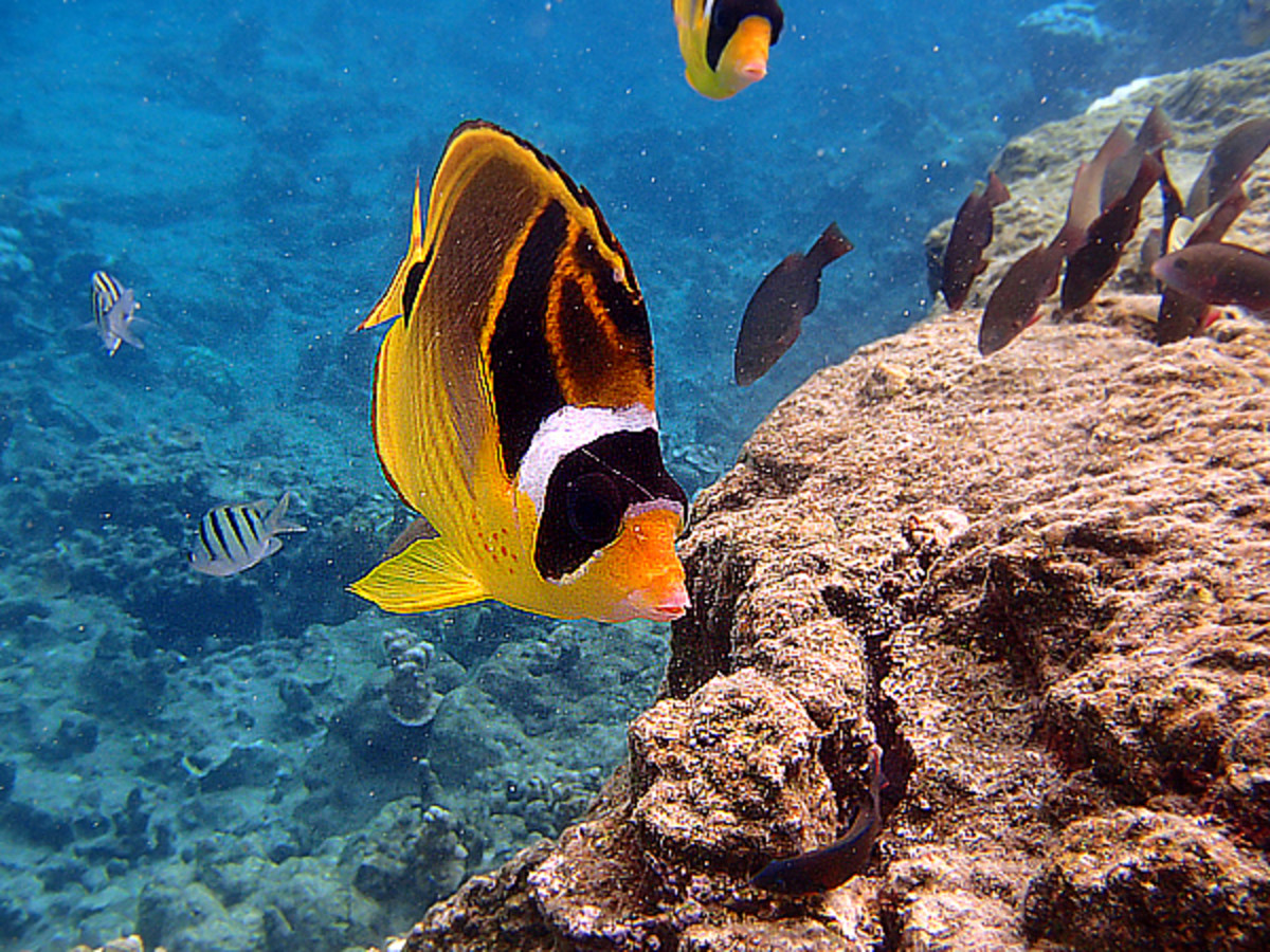 Racoon Butterflyfish is perhaps the friendliest reef fish in Hawaii - it sometime swims along and follows snorkelers around like a puppy!