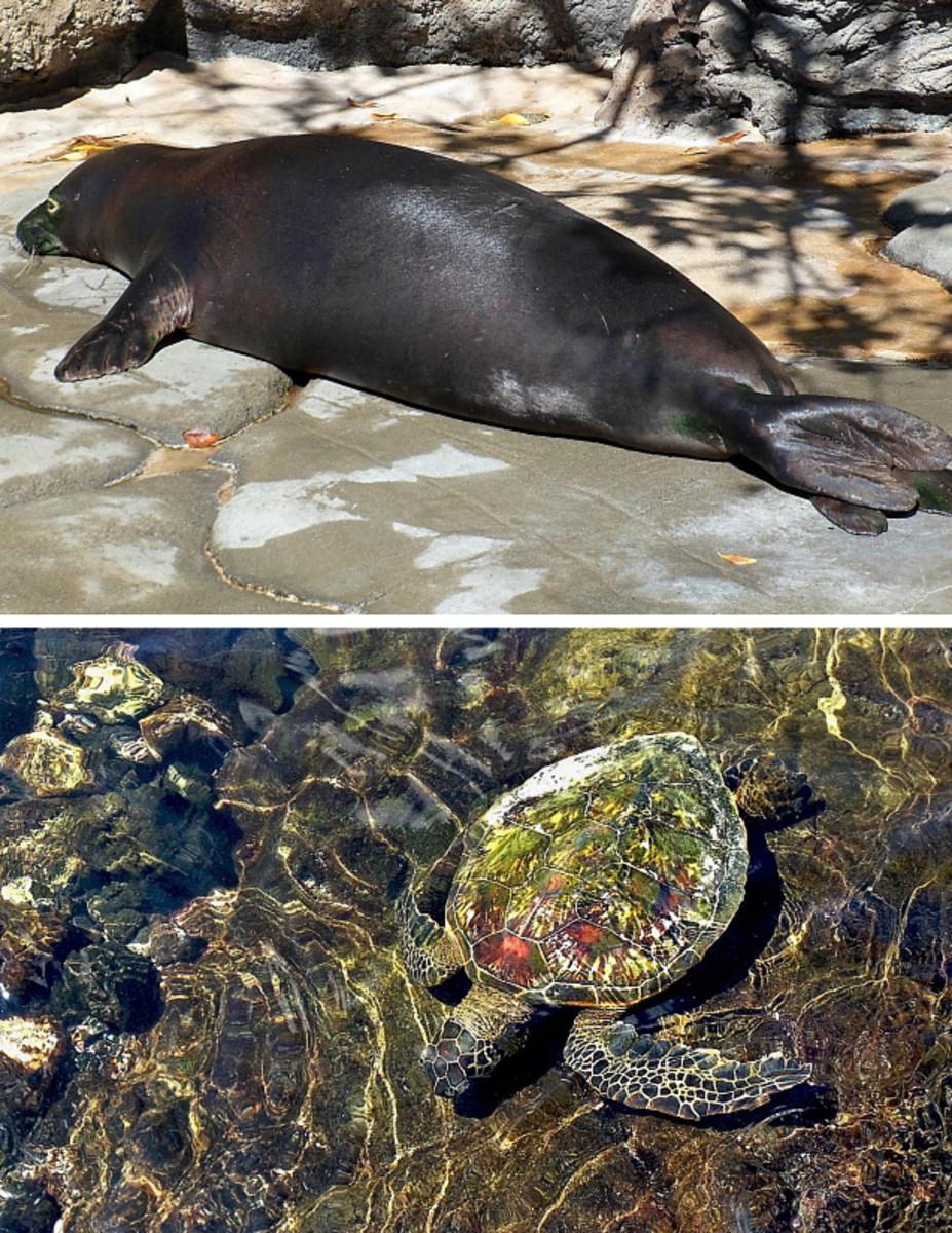 "Top: Hawaiian monk seal at Waikiki Aquarium. Bottom: Green sea turtle, affectionately called ""honu"" by Hawaiian residents."