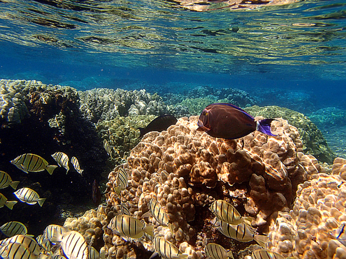 A school of Convict Tangs and Brown Surgeonfish in the shallow reef.