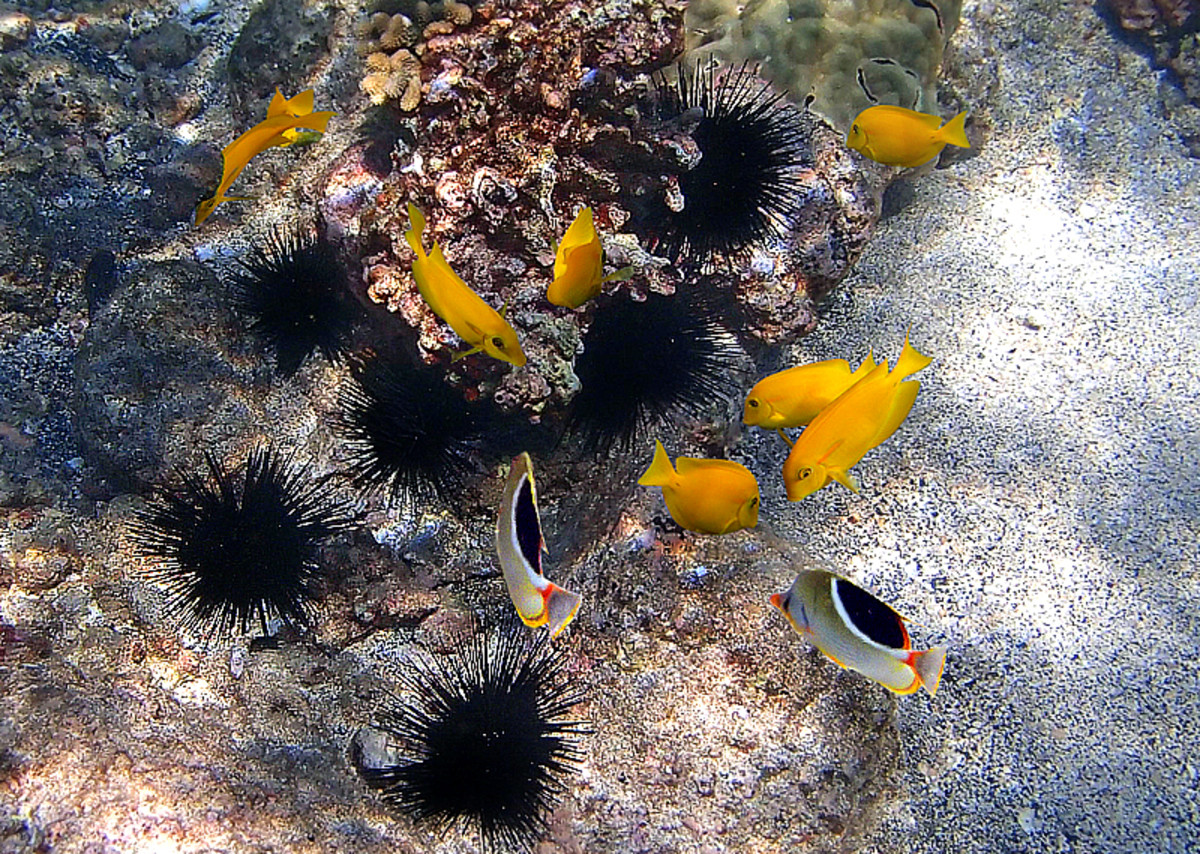 School of juvenile Orangeband Surgeonfish and a pair of Saddleback Butterflyfish browsing near a colony of long-spined sea urchins.