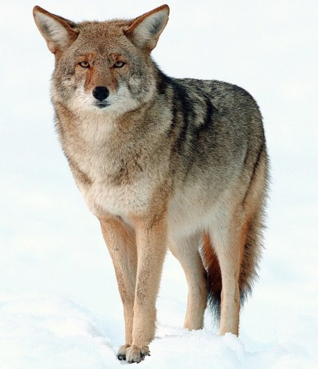 With the proper bullet, at reasonable ranges, the rimfires will give coyotes a dirt nap.