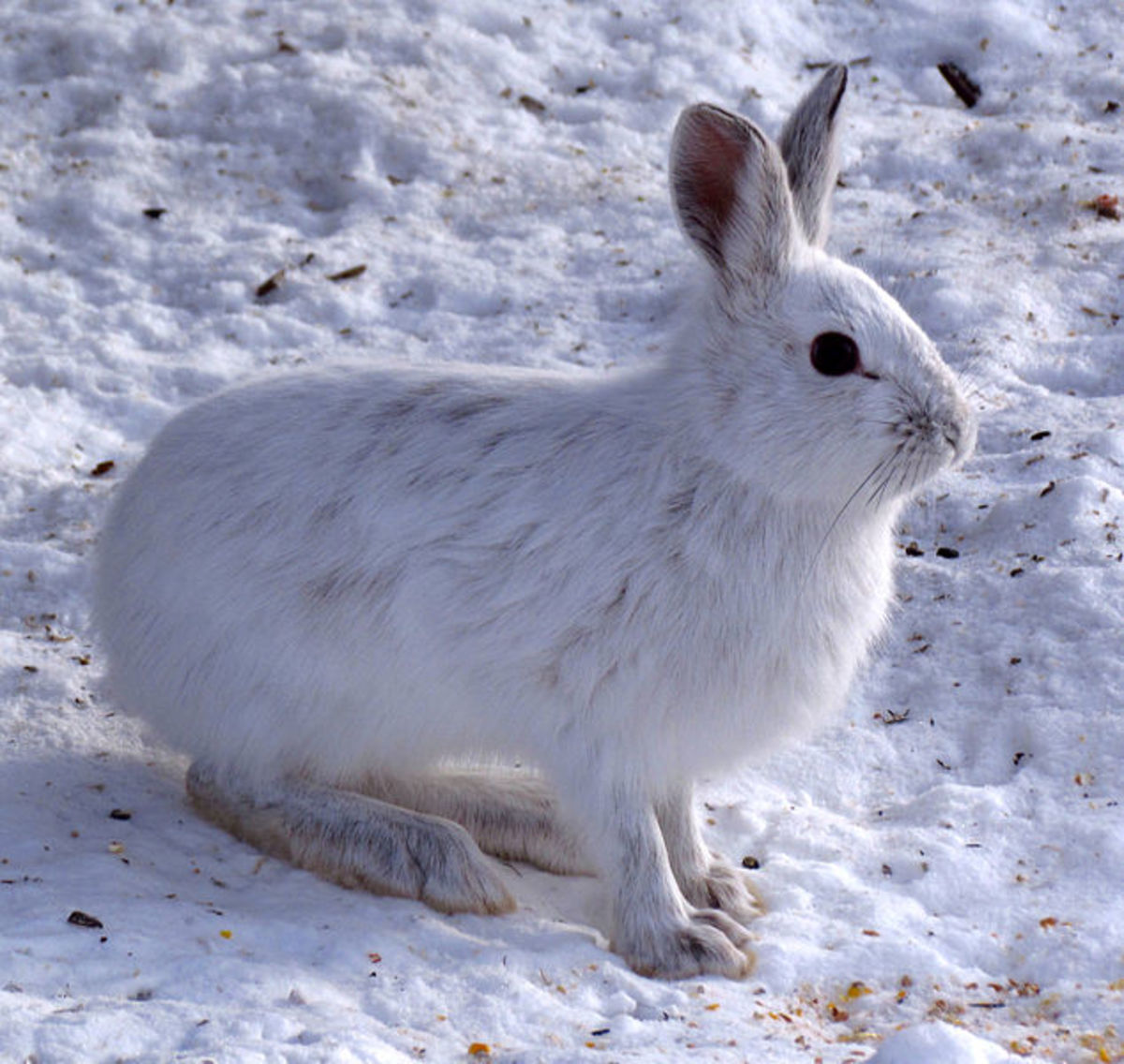 Rimfires are perfect for small game such as this snow shoe hare.