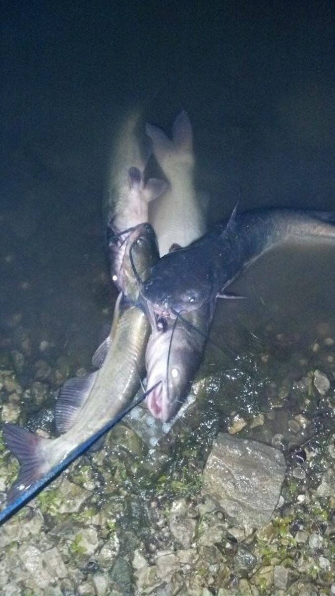 A fine evening's catch of channel catfish.