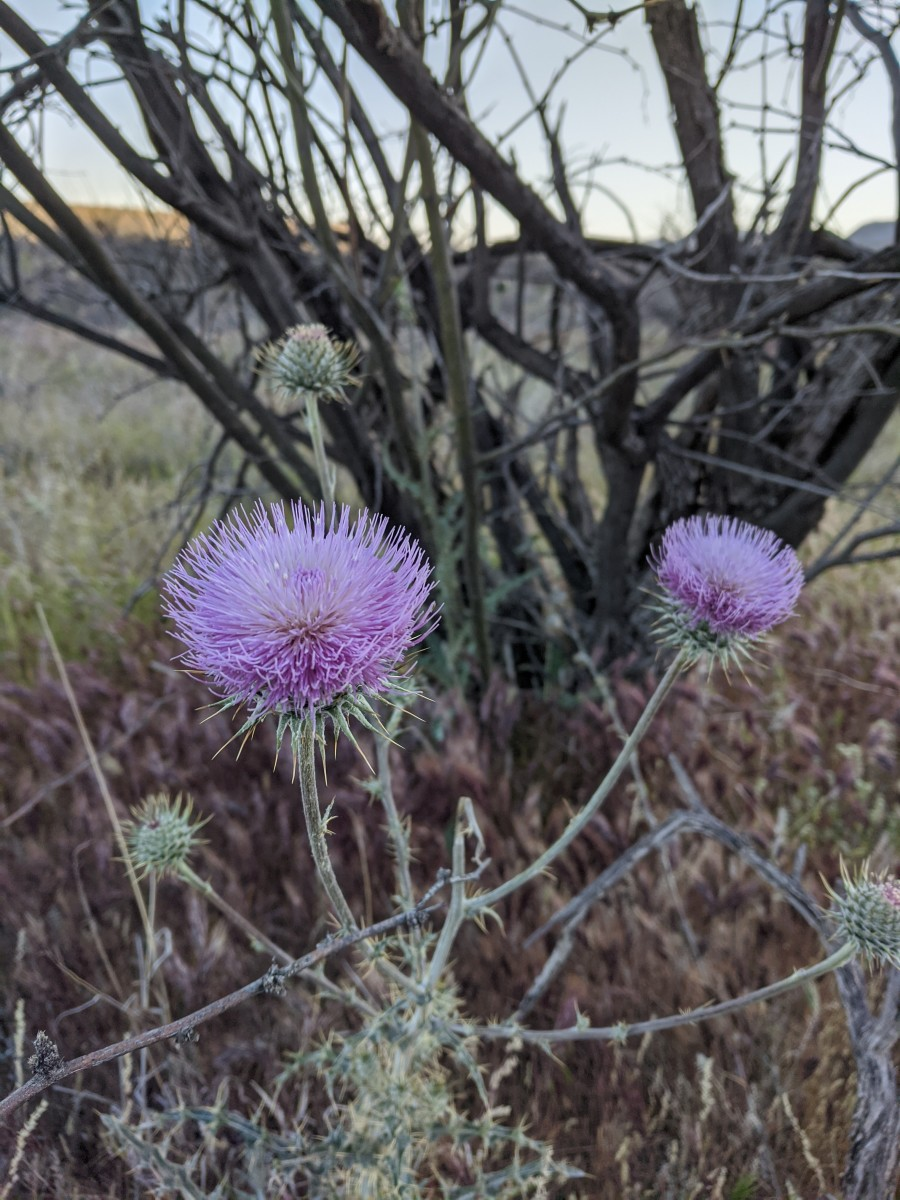 Thistle in bloom along trail to Romero Pools with Santa Catalina Mountains in the distance