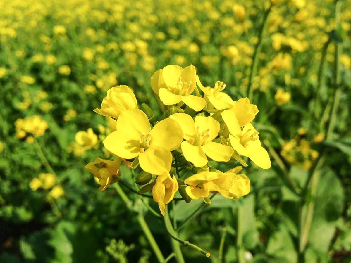 Beautiful mustard flowers in India