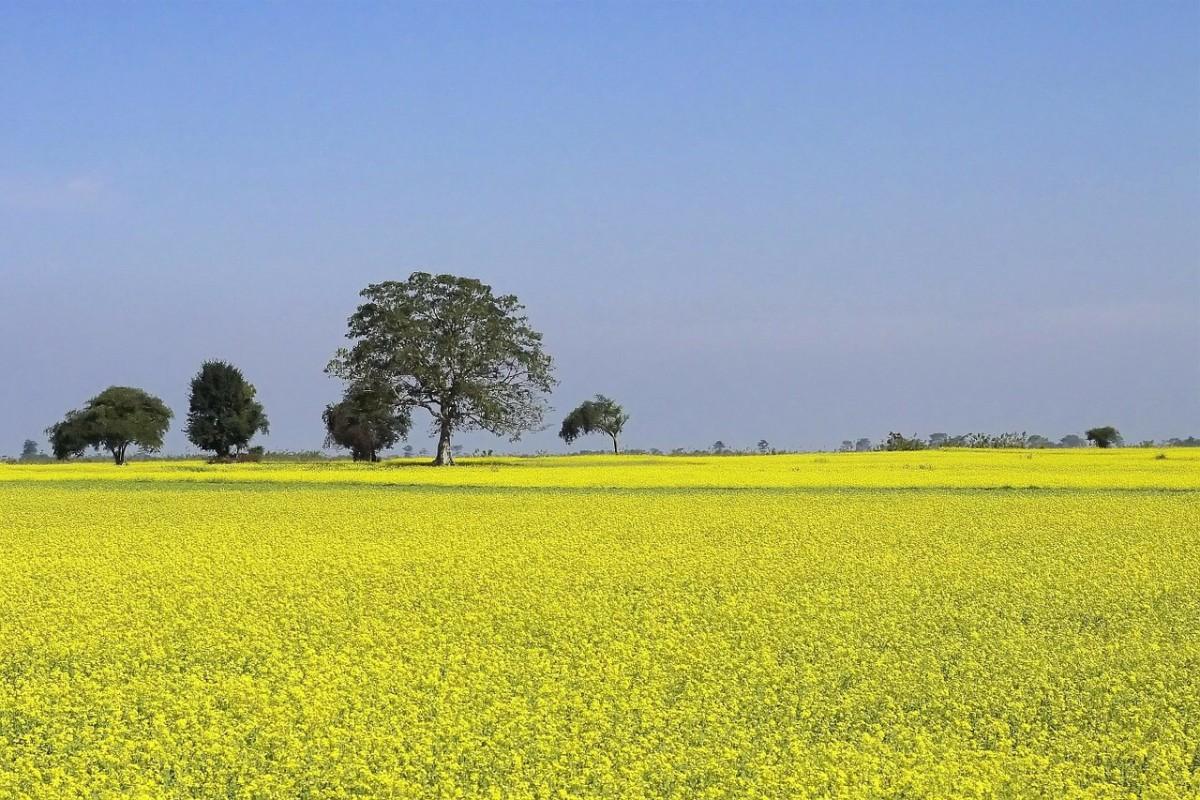 A mustard farm