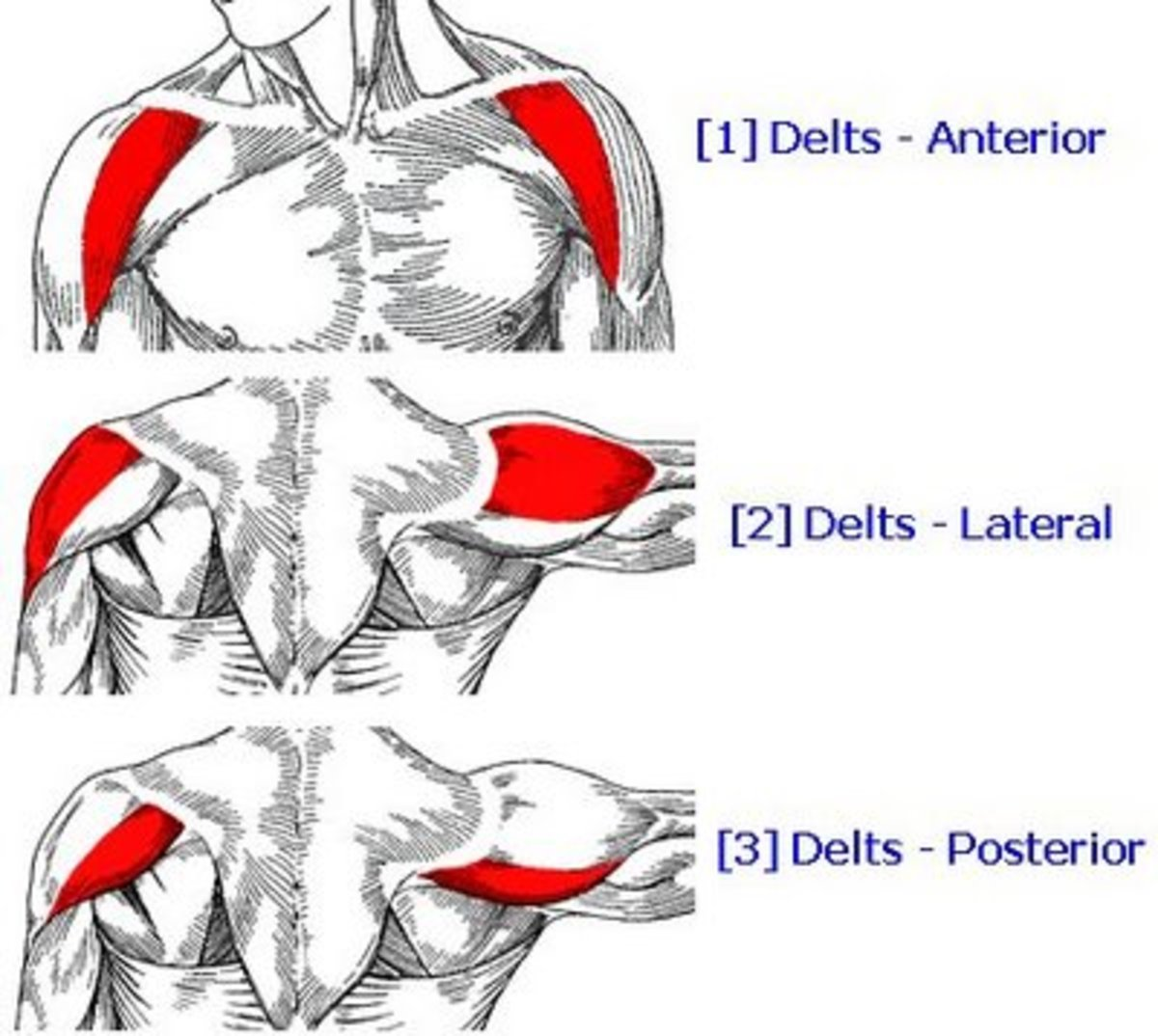 The deltoids, or shoulder muscles: one of the muscle groups you'll be (over)working during P90X: Shoulders and Arms.