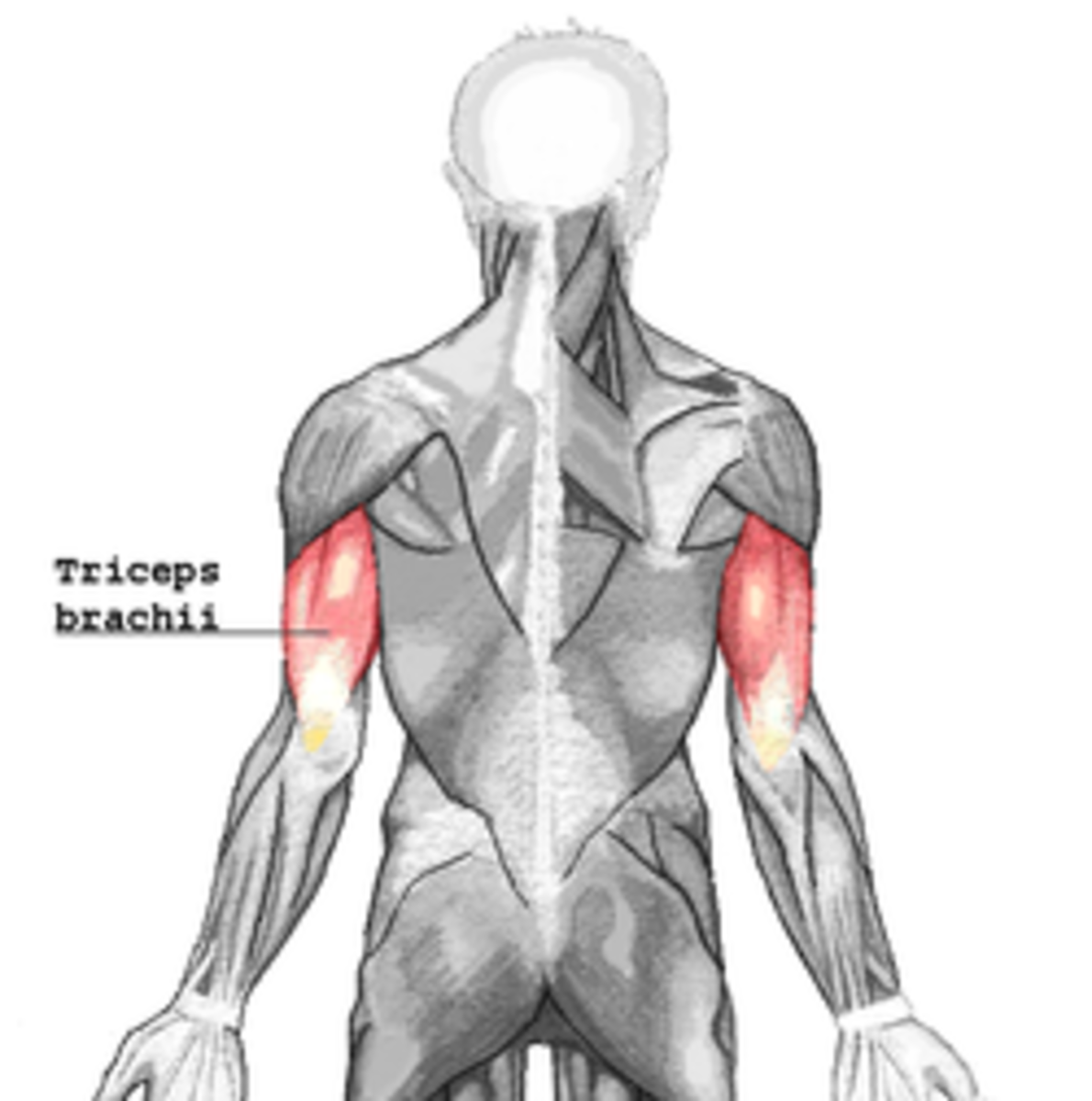 The triceps: the muscle group which, on contraction, allows you to extend your arms.  Often works in concert with the pectorals, and will get worked out not-quite-as-hard as the biceps during Shoulders and Arms.
