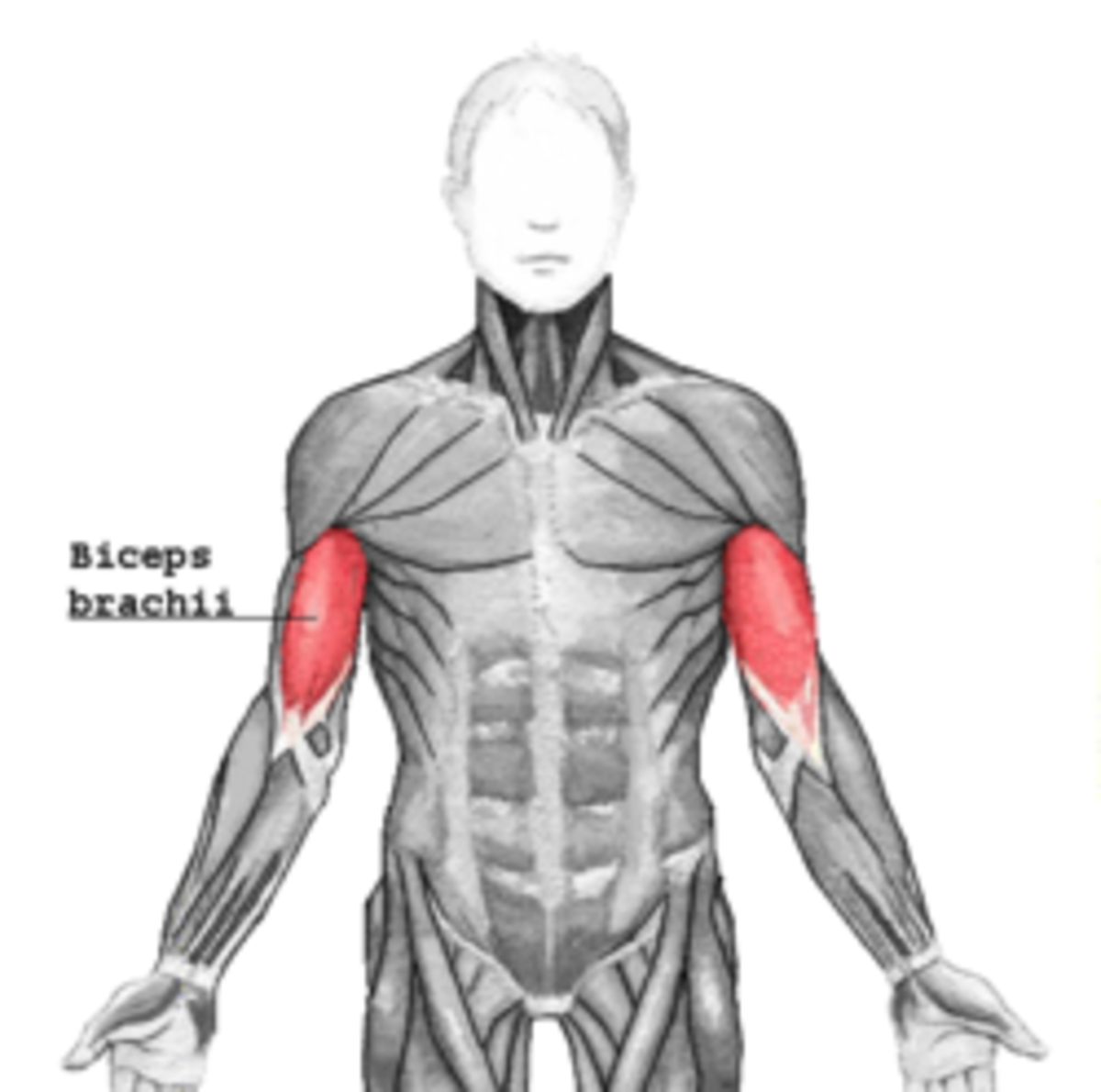 The biceps: the muscle group which contracts when you bend your arm.  It's also the opposing muscle group to your triceps, and one of the muscles (over)exercised in P90X: Shoulders and Arms.