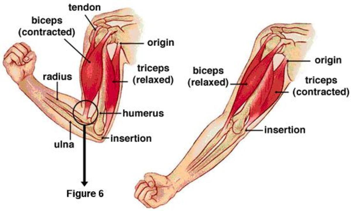 Another view of the triceps and biceps and how they work together.