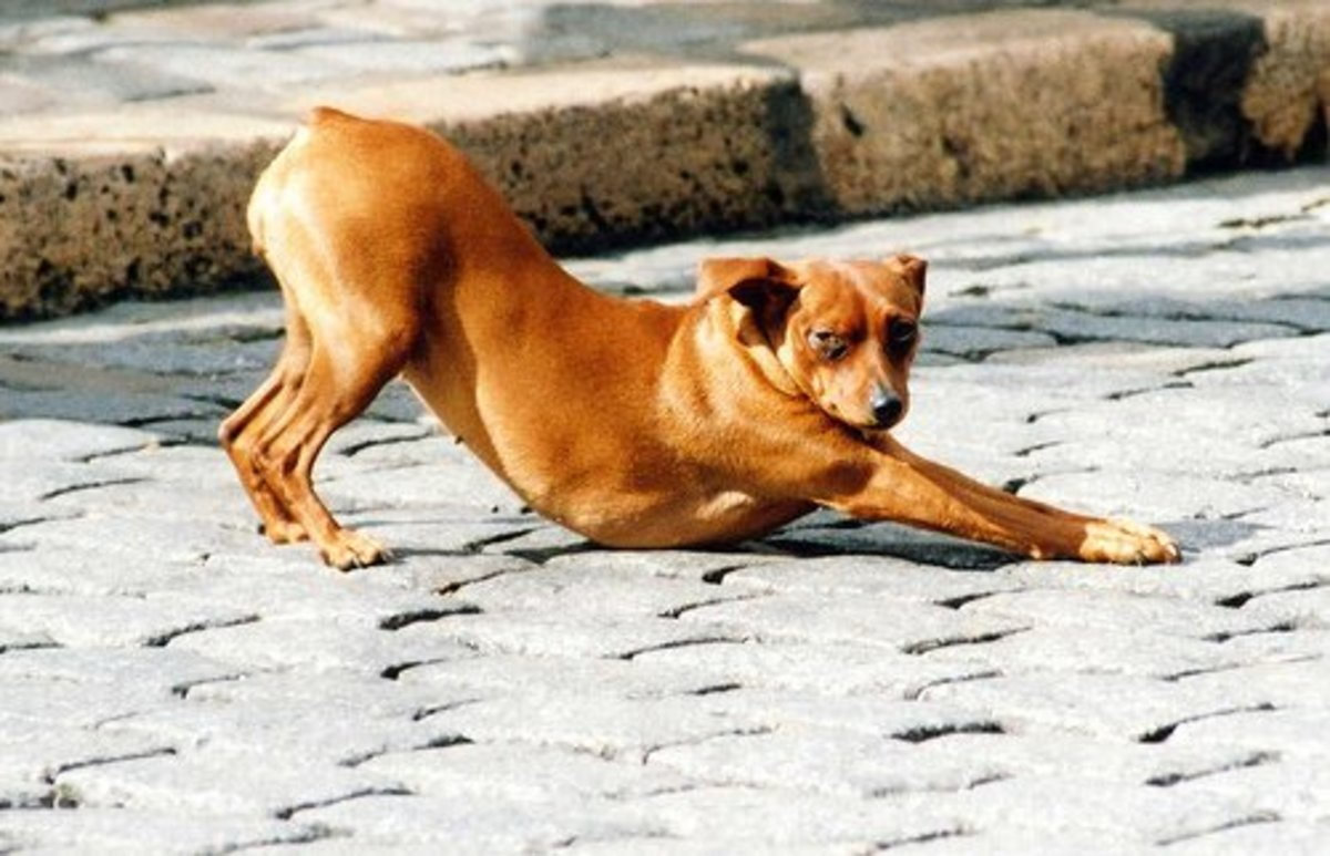 A dog showing just why the pose is called Downward-Facing Dog.