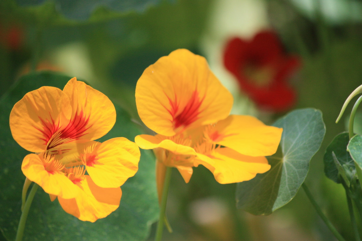 Nasturtiums come in many colors—pretty oranges, reds, and yellows are the most common colors for nasturtium flowers