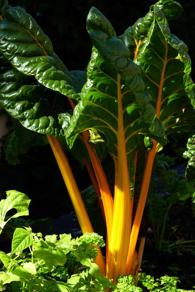 Yellow Stalks And Veined Silverbeet