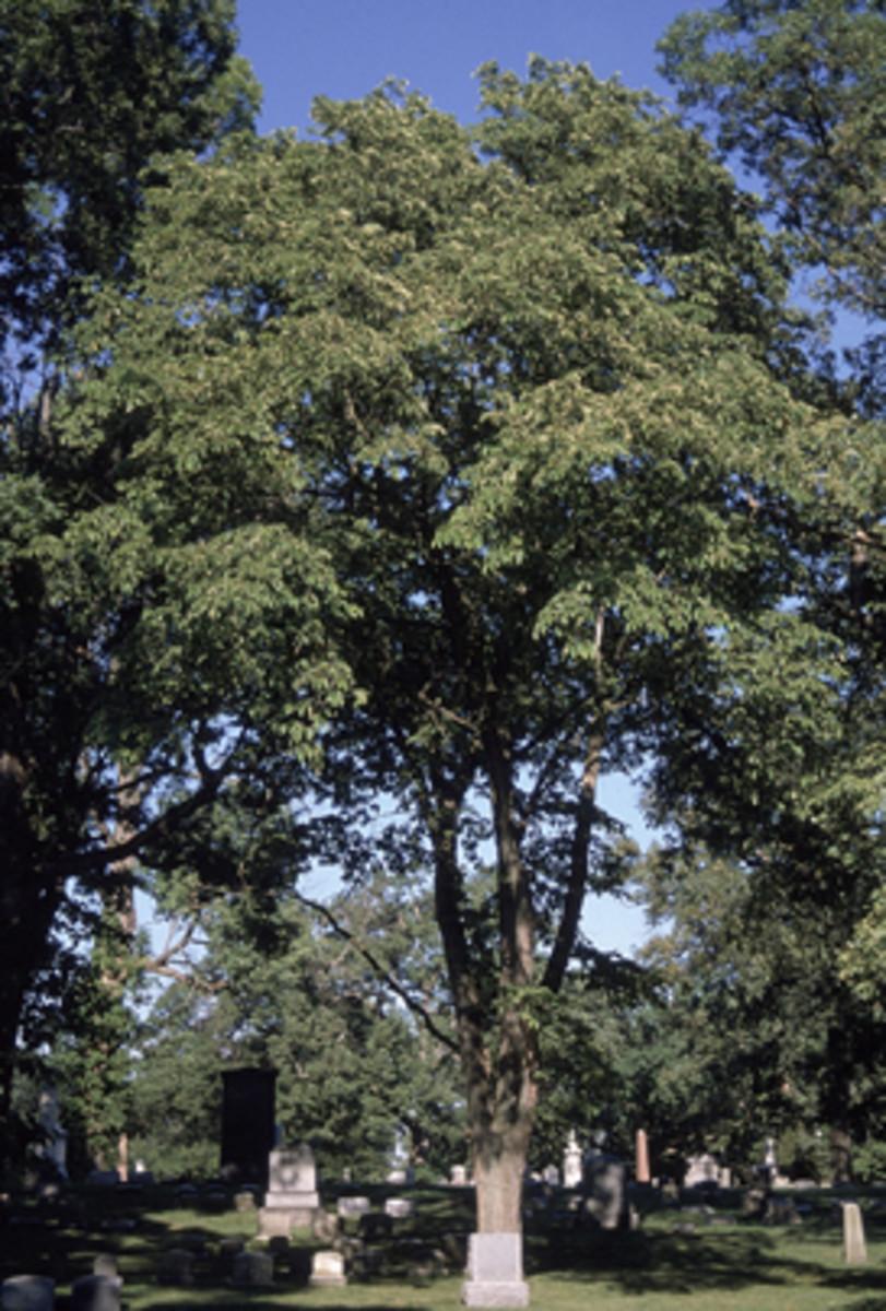 Slippery Elm Tree