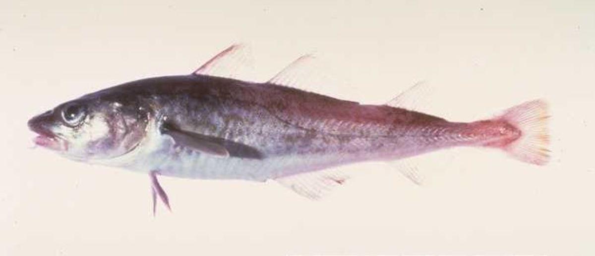 Pacific cod fish