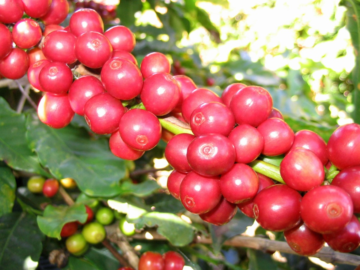 Coffee fruit, berries, or cherries are green when unripe and red when ripe. Each cherry contains two coffee beans, or seeds.
