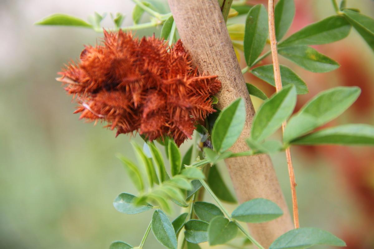 Liquorice flower